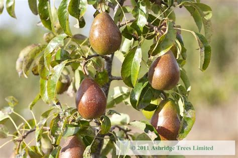 louise bonne of jersey pear trees for sale mail order - Fruit Trees For Sale In Nj