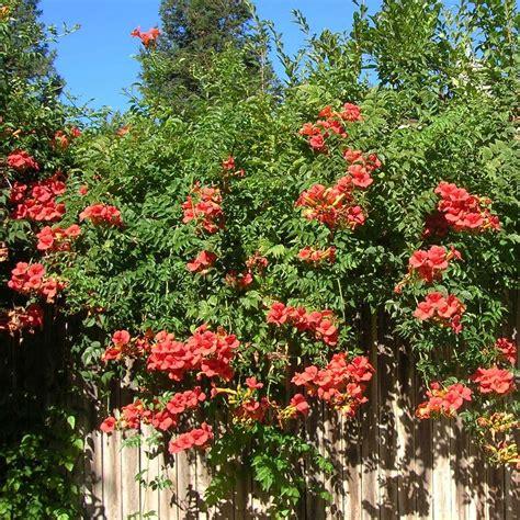 Plante Grimpante Orange by Csis Tagliabuana Madame Galen Bignone Grimpante Aux