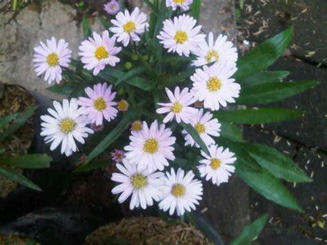 tanaman aster pikok pink bibitbungacom