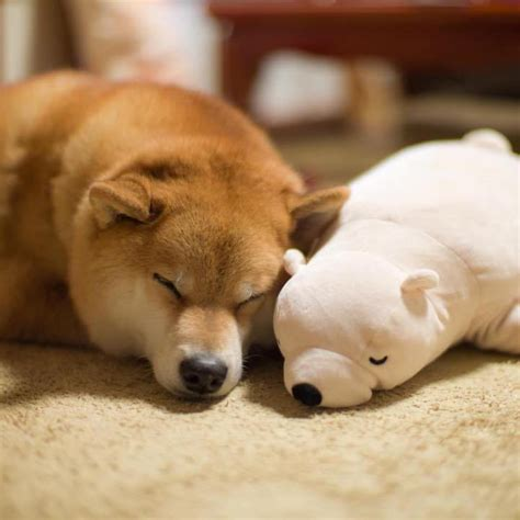 Psi Teddy Bears adorable shiba inu always naps in the same position as