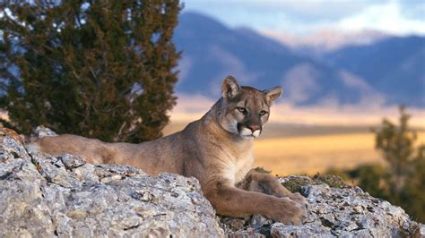 imagenes kitty pumas mountain lion cougar hd wallpapers hd wallpapers high