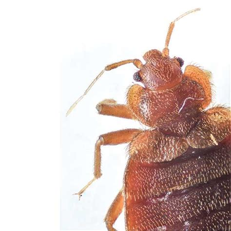 bed bugs seattle bed bug head and thorax web united pest solutions pest