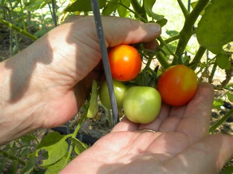 tomatoes and dogs 9 common plants that are toxic to cats and dogs the grid news