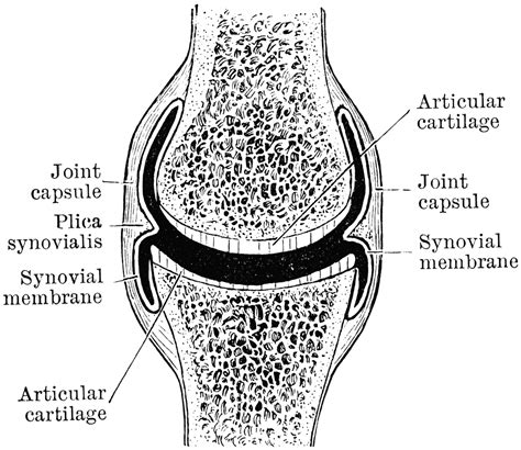 frontal section of hip joint diarthrodial joint clipart etc