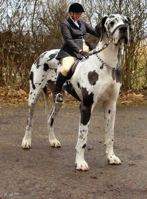 what is the largest breed gallery the breed