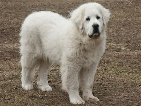 maremma golden retriever mix 1163 best great pyrenees images on mountain dogs pyrenees puppies and big dogs