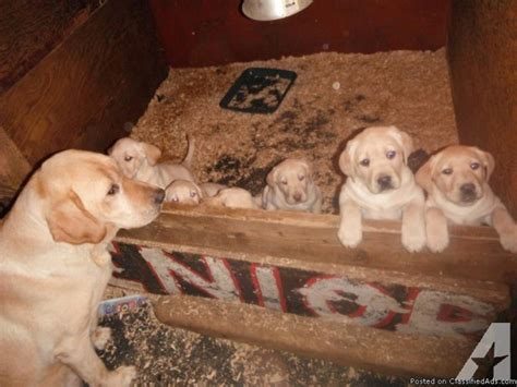 puppies for sale tacoma akc yellow lab puppies for sale in tacoma washington classified americanlisted