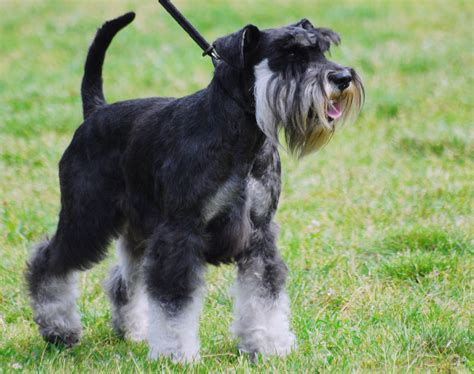 schnauzer dogs images