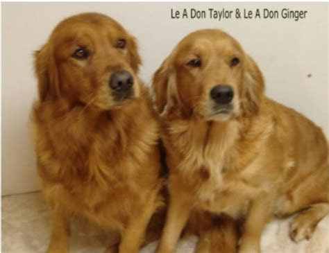 rescue golden retrievers northern california rescue retrievers golden dogs our friends photo