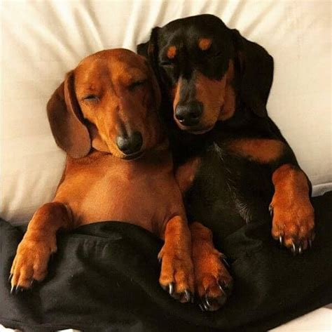 sausage central 1000 ideas about sausage dogs on dachshund weiner dogs and dachshund