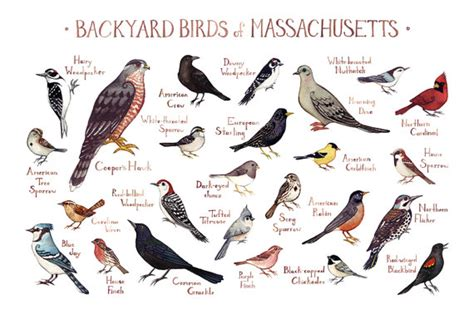 backyard birds northton ma massachusetts backyard birds field guide art print