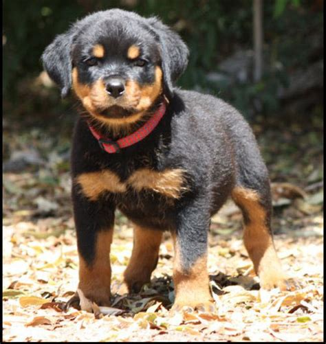 rottweiler for sale nsw rottweiler puppies for sale nsw australia livestock pups agriculture ads