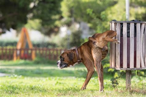 dog urinating in house behavioral training to stop dog urine marking causes prevention