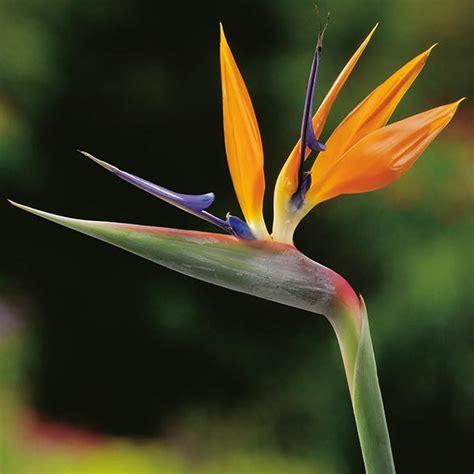 strelitzia bird  paradise seeds   fothergills