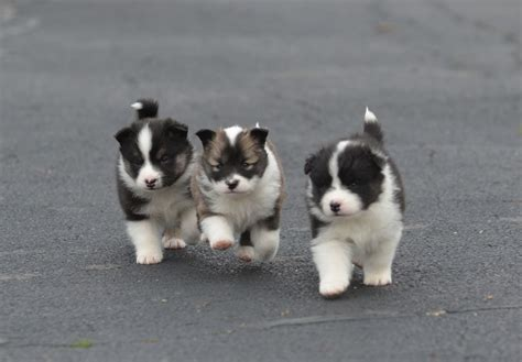 sheepdog puppies sheepdog puppies for sale akc puppyfinder