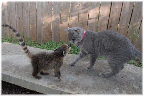 coatimundi pets pinterest