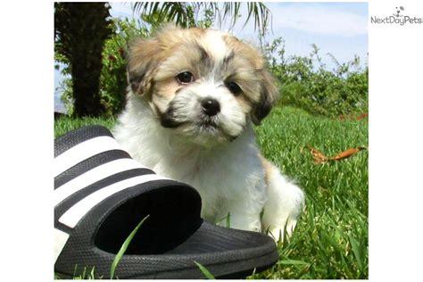 shi shi dogs maltese shih tzu teddy puppy mal shi escondido breeds picture