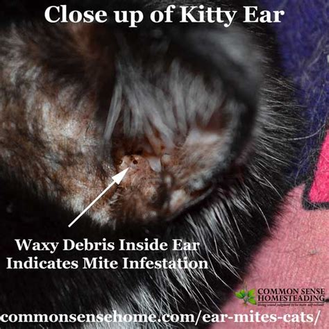 ear mites in cats easy treatment plus common questions total survival