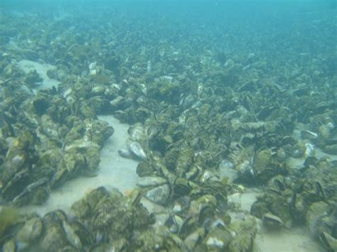 thames barrier reef first of its kind study finds wild mussel beds may recover