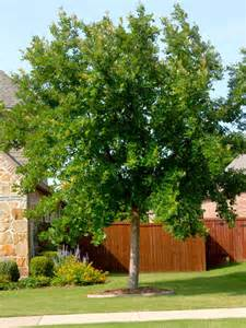 best shade trees for texas neil sperry s gardens