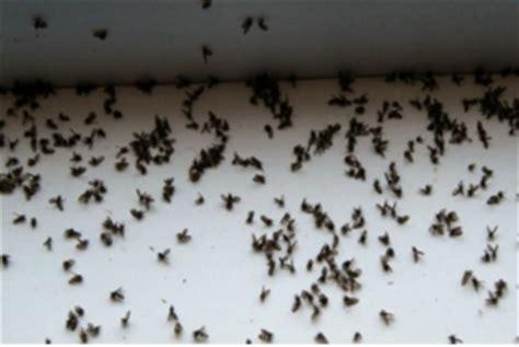 se d饕arrasser des moucherons dans la cuisine anti moucherons tout pratique