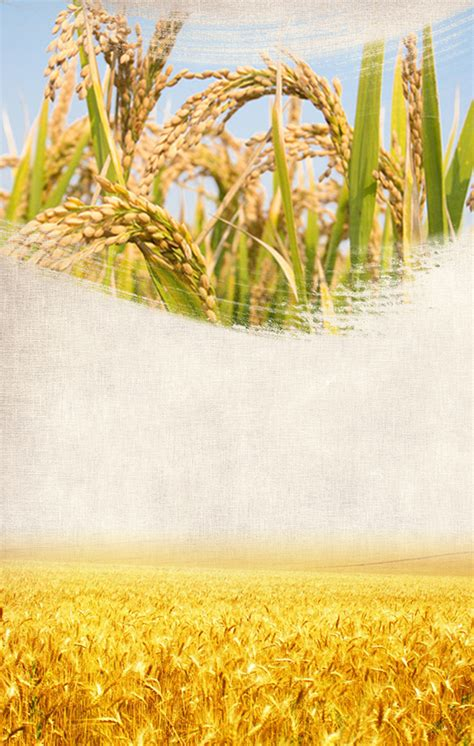 rice poster background rice wheat field background