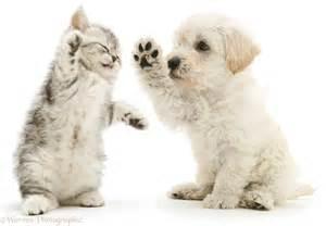 pets woodle puppy kitten boxing photo wp16066 litle pups
