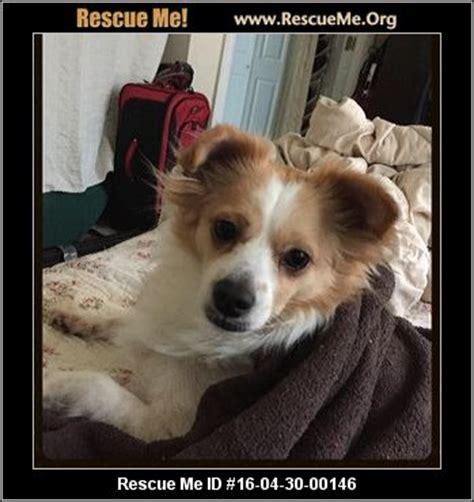 pomeranian rescue nyc new york pomeranian rescue adoptions rescueme org