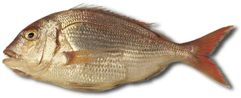 imagenes animales con escamas pargo informaci 243 n fon fishing