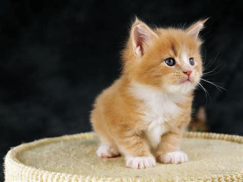 wallpaper anak kucing comel 1600 x 1200 maine coon bicolor anak kucing menakjubkan