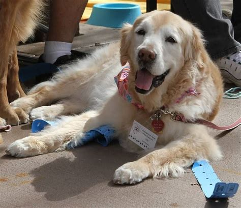 golden retriever rescue florida packing for reunion day golden retriever rescue of mid florida