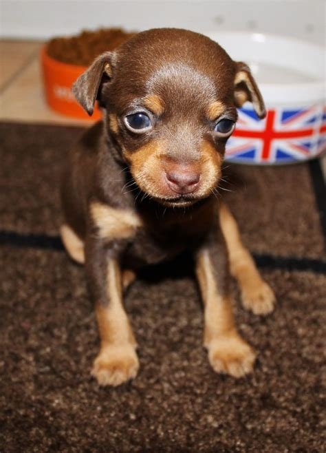 chocolate miniature pinscher puppies for sale chocolate min pin boy for sale edgware middlesex pets4homes