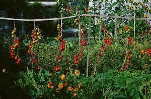 prolonger les r 233 coltes de tomates votre votre jardin