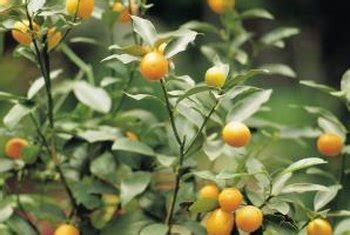 grow  citrus tree  seed   pot indoors