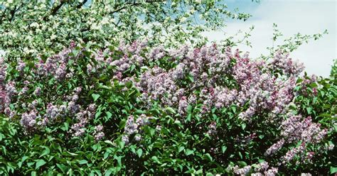 fast growing flowering shrubs uk fast growing bushes for privacy ehow uk