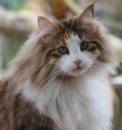 fluffiest breeds five fluffiest cat breeds everything trending in cats