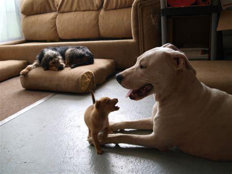 miniature pitbull puppies miniature pinscher rat terrier mix breeds picture