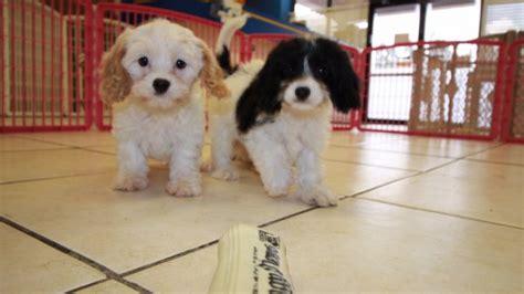 cavapoo puppies for sale in ga cavapoo puppies for sale local breeders near atlanta ga at puppies for