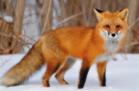 lander s outdoors reclusive foxes can sometimes be to spot around kentucky kyforward