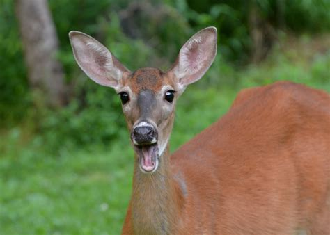 deer apples deer and apples nick s nature pics