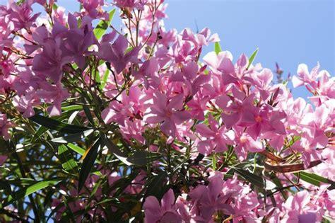 Oleander Im Garten Pflanzen 4461 by Oleander Garten