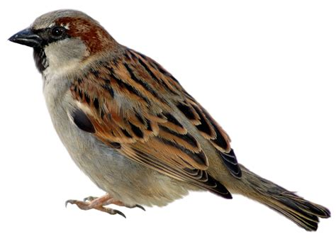 sparrow clipart sparrow png