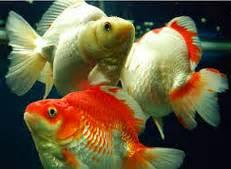 Makanan Ikan Hias Paling Bagus jenis ikan koki ekor kipas ikan hias air tawar laut dan