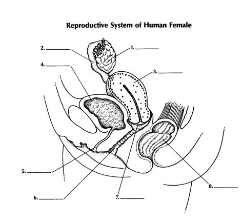diagram of reproductive system free coloring pages of reproductive system