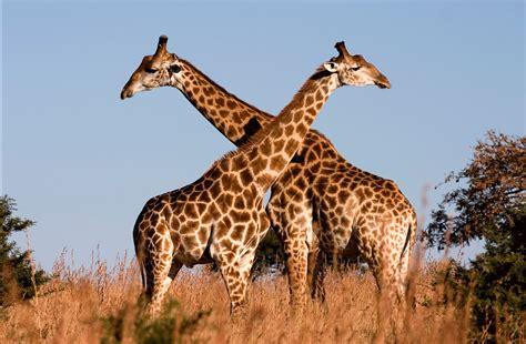 Imagenes De Jirafas Apareandose | im 225 genes del mundo animal jirafa