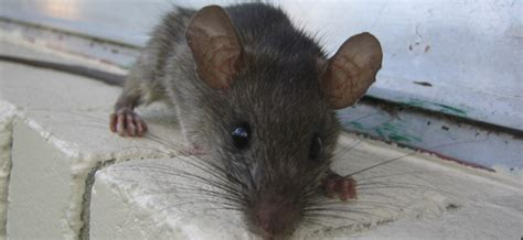 rats in basement with 100 more info