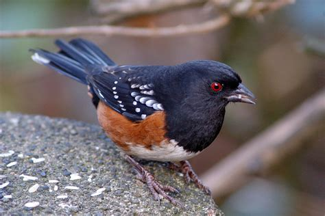 the birds and the thursday bird photo spotted towhee not only for the birds