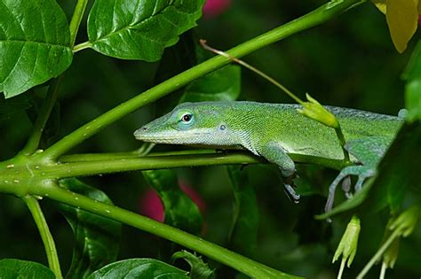 What Do Lizards Eat And Drink In Backyards by More Lizard Bugs