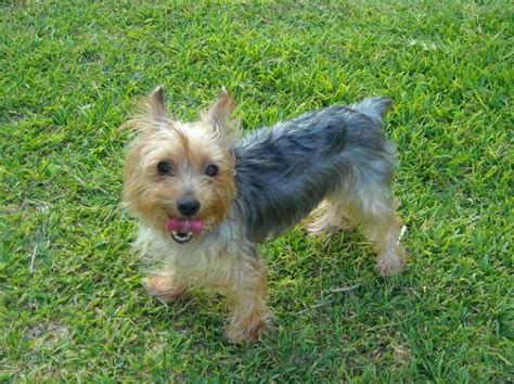 blue yorkie pocketbook pups terriers puppies