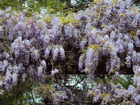 top 28 purple vining plants the latest dirt from my garden purple bell vine hyacinth bean